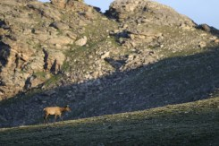 A lone elk wandering the reaches of Rocky Mountain National Park_Matt Inden