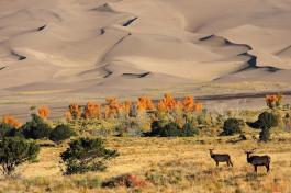 Elk Pair, Early Morning, Near Base of Dunes_Credit NPS_Patrick Myers