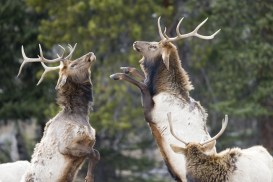 Elk in Rocky Mountain National Park vie for dominance with a grand display_Matt Inden