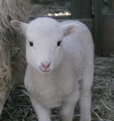 Picture of a white lamb.
