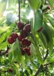 Cherry Pickin 003