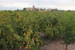Valencian Oranges