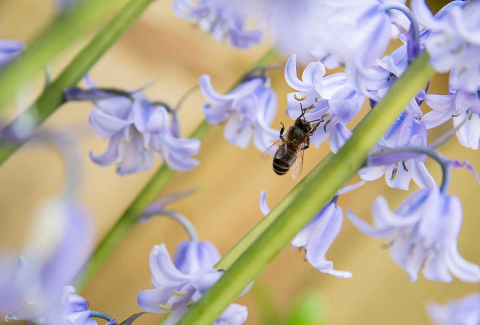 Bee-on-bluebells