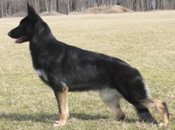 Affordable Happy Gsd Stack German Shepherd Guide Short Spine Syndrome Dog Meme Short Spine Dog X Ray If Dog Will H Back Out You Wantpeople To See Your Not Good