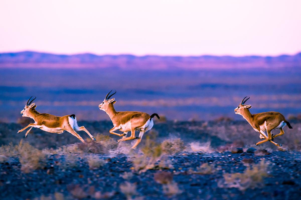 GERtoGER-Hureelen-Project-Copyrighted-Gazelles-Photo-20152