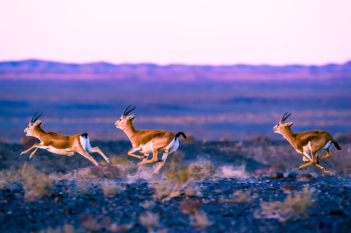 GERtoGER-Hureelen-Project-Copyrighted-Gazelles-Photo-20152