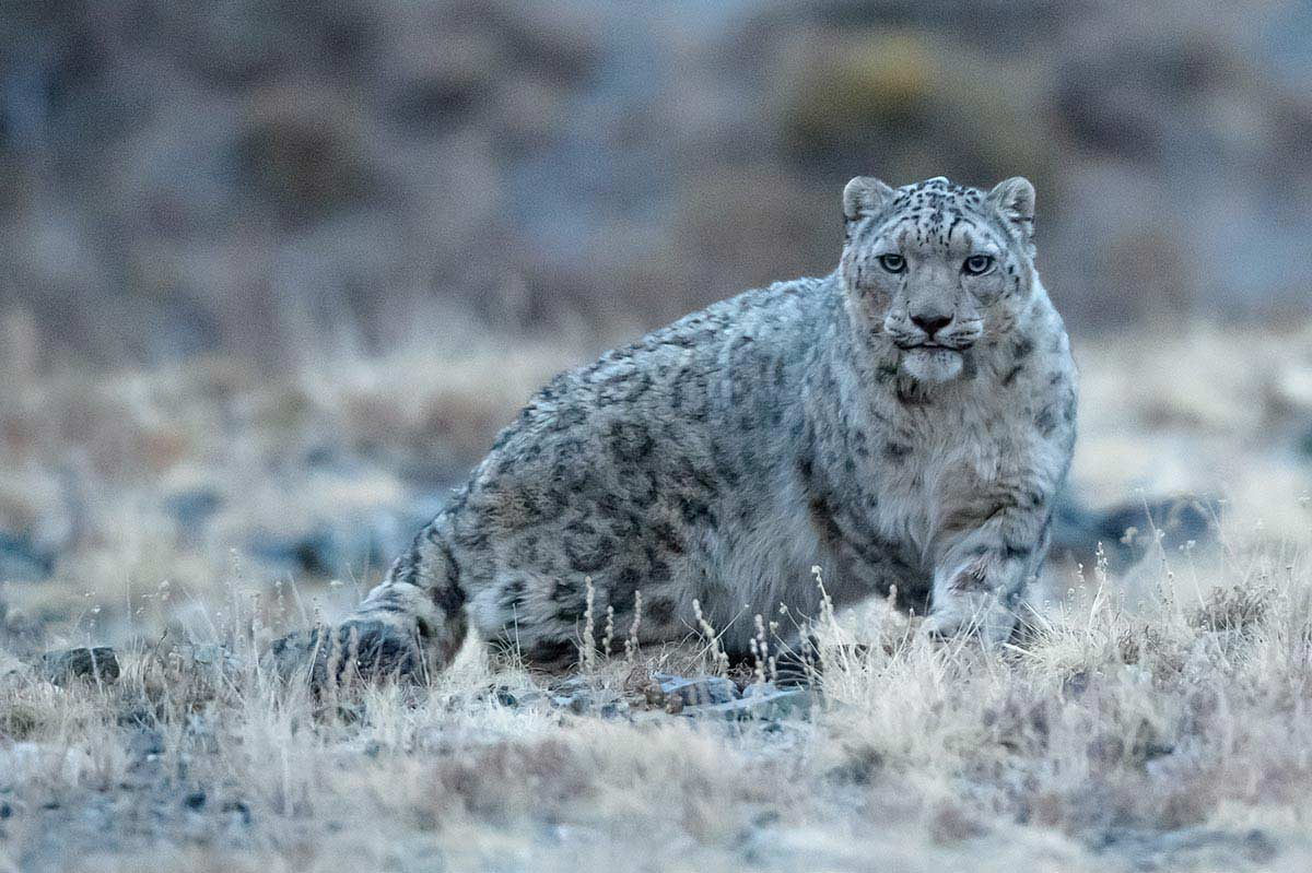GERtoGER-Hureelen-Project-Copyrighted-Snow-Leopard-Photo-20151