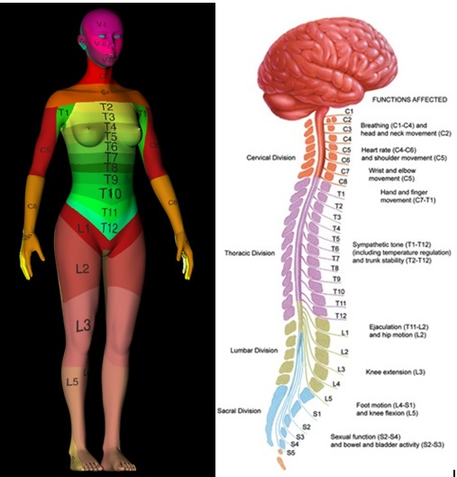 spinal cord3