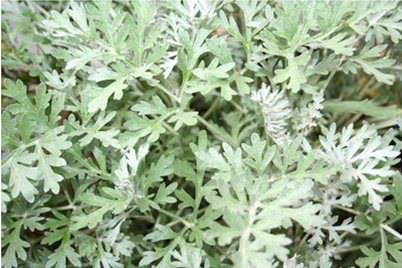 WoorWorm Herb