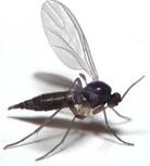 fungus-gnat