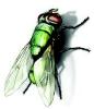 bottle-fly-lifespan