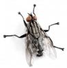 flesh-fly-lifespan