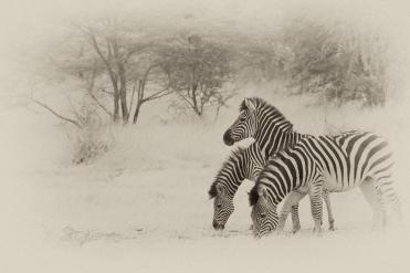 Dreiköpfiges Zebra