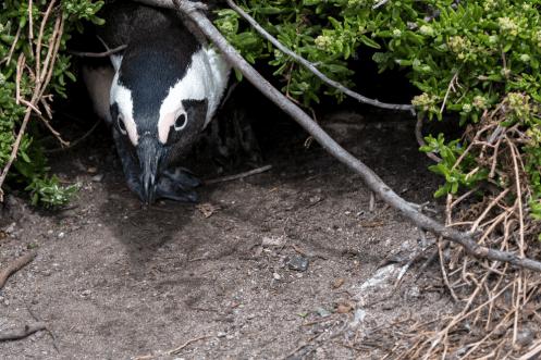 Pinguin, Bessiesbay