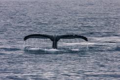 Schwanzflosse eines tauchenden Buckelwals