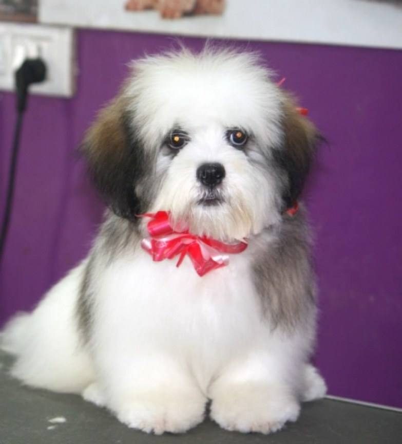 Bruzzo (My Pet) Just got his Spa Pet my pet Lhasa apso dog spa dog animal spa