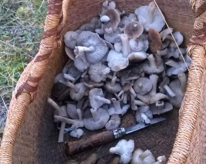 champignons de l ubaye a barcelonnette