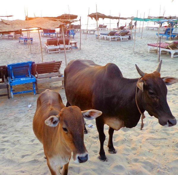 Friendly cows enjoiyng the sunset on Morjim beach, Goa