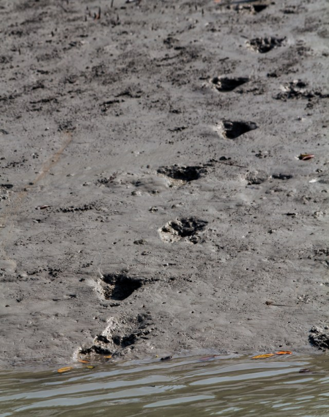 Fresh tiger paw prints in the mud