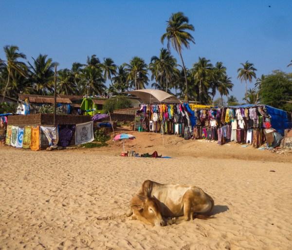 Cows chilling on Anjuna Beach, Goa