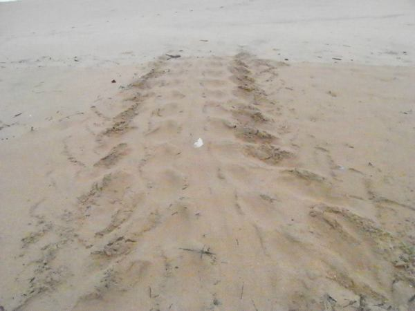 The tracks of the leatherback turtle across the beach