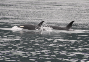 Two female orcas