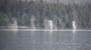 Spray from blowholes