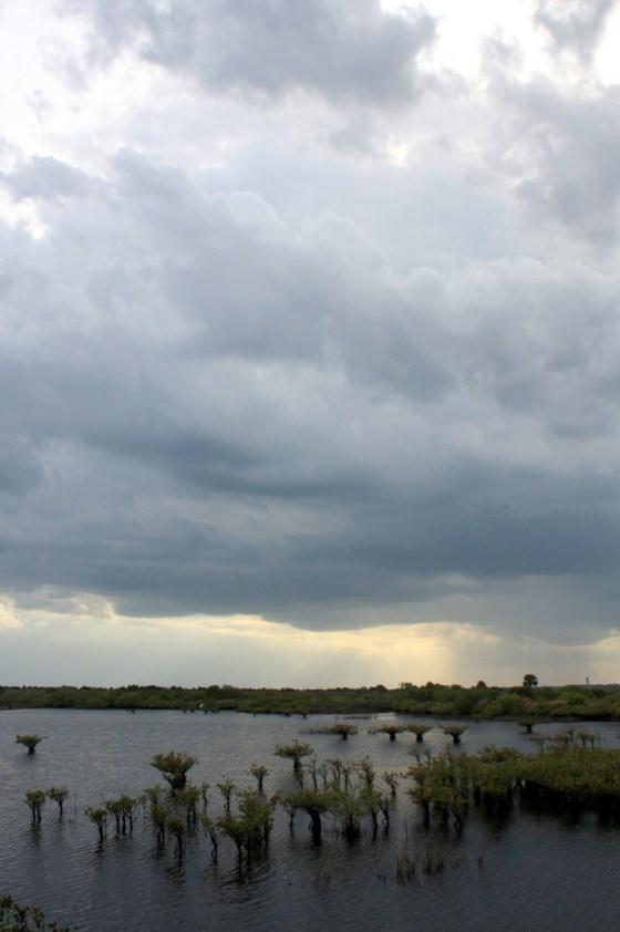 Mangrove - Merritt Island - Floride