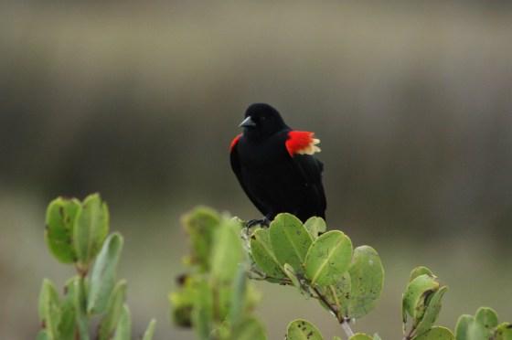 Oiseau - Merritt Island - Floride