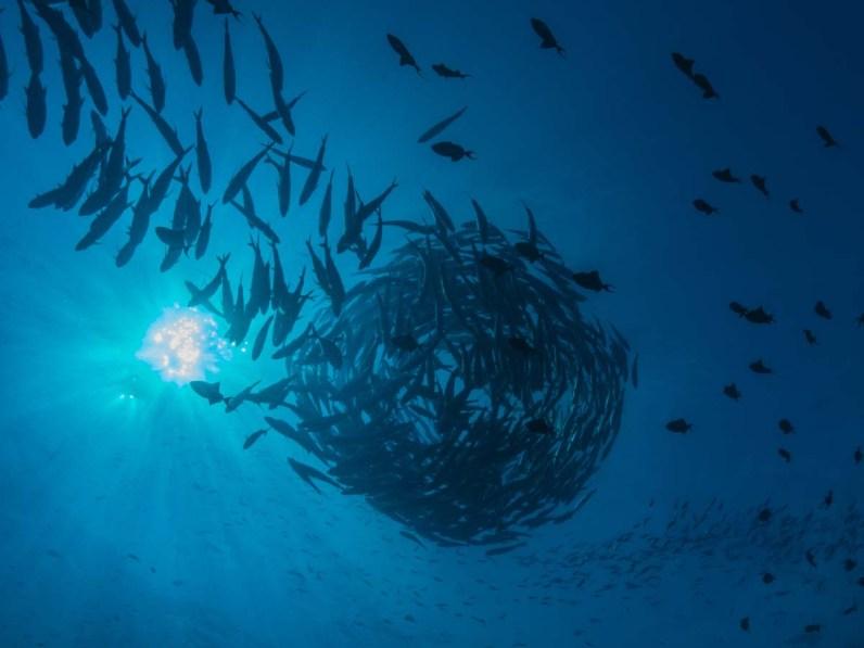 Ein Schwarm Grossaugen-Makrelen