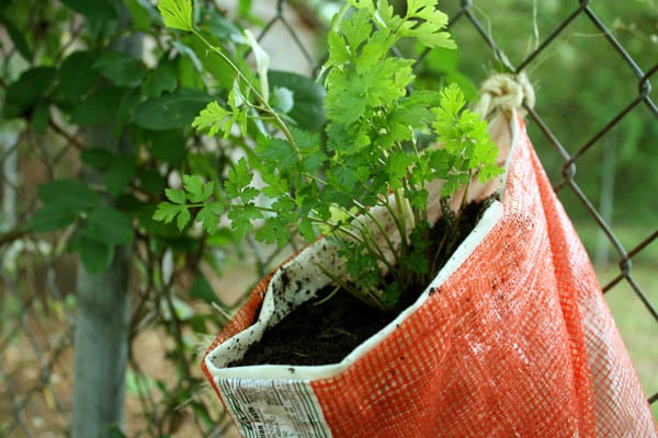 Turn an old mesh produce bag into a recycled hanging herb planter!