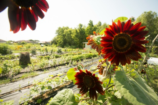 NOLA Tilth Red Sunflowers