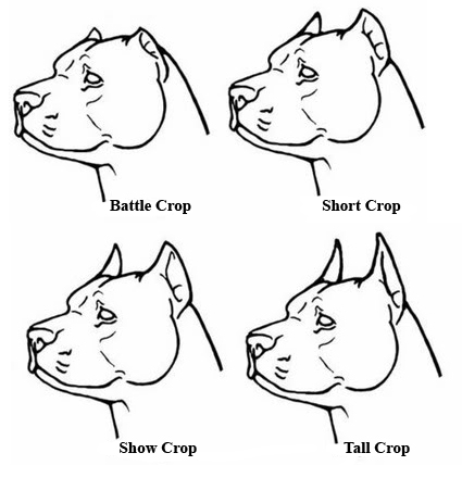 Pitbull Ear Cropping Styles Pictures to pin on Pinterest