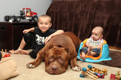 giant-pit-bull-hulk-the-newborn-baby-1