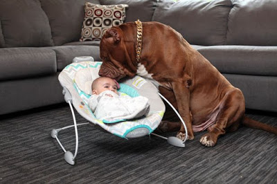 giant-pit-bull-hulk-the-newborn-baby-4
