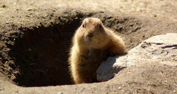 Image of groundhog