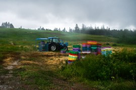 Kanada Nova Scotia Wilde Blaubeeren Ernte auf dem Feld  GourmetGuerilla.de