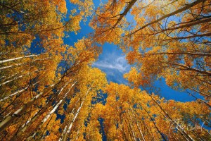 Fall Aspens in Steamboat Springs Colorado