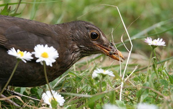 female blackbird gathering insects from lawn