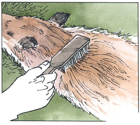 coyote pelt