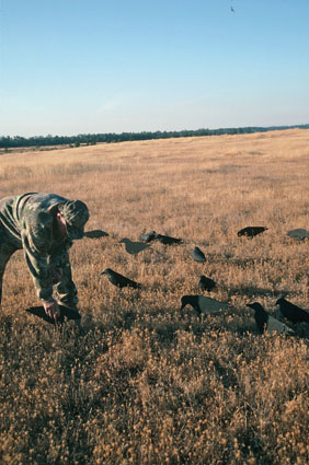 crow hunting decoy spread