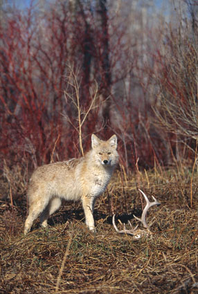 coyote hunting deer
