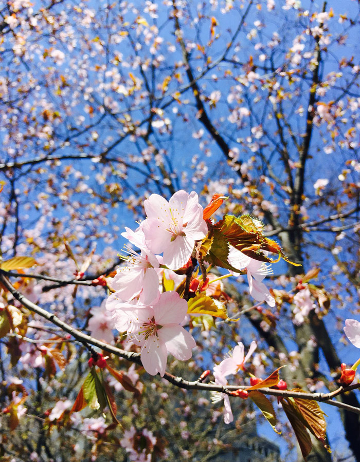 Cherry blossoms, Odori Park