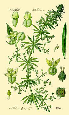 gaillet gratteron herbier wiki