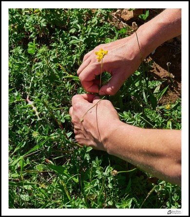 GC - escalade medicinale - cueillette - lotier corniculé lotus corniculatus - ivan olivier photographies (13)