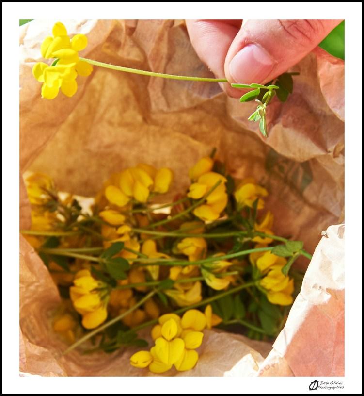 GC - escalade medicinale - cueillette - lotier corniculé lotus corniculatus - ivan olivier photographies (15)