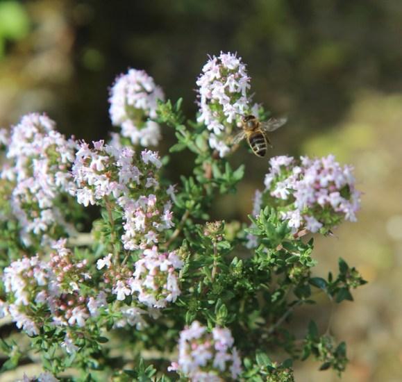 GC - thym abeille - pixabay