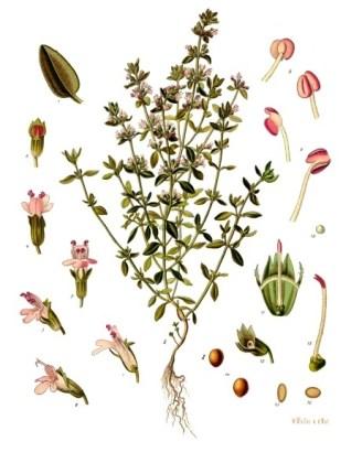 Thymus_vulgaris_-_Köhler–s_Medizinal-Pflanzen-271