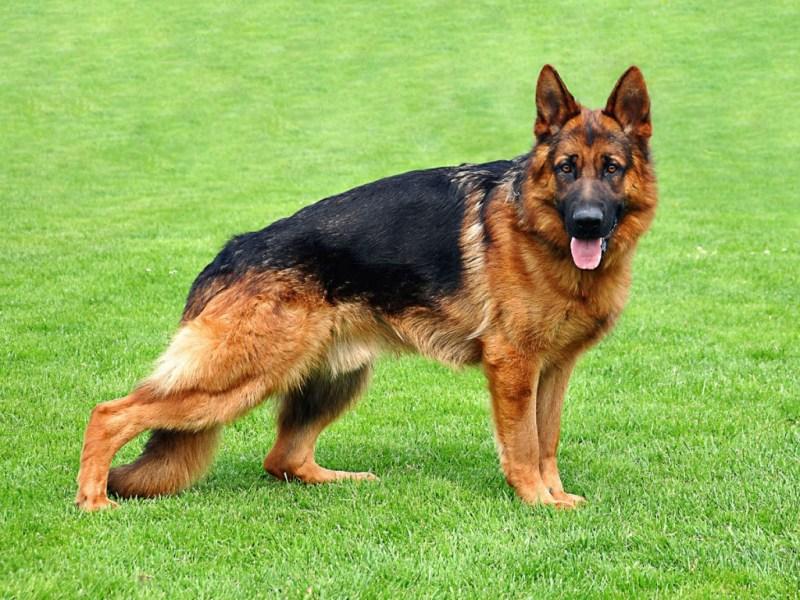 Large Of German Dog Breeds