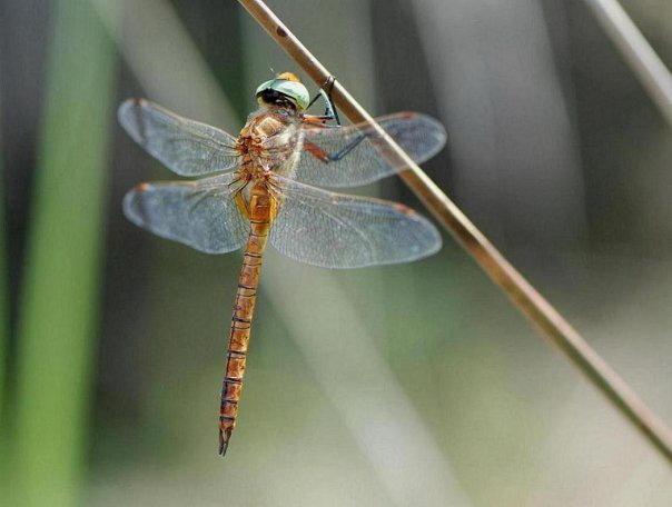 Orange dragonfly on Corfu